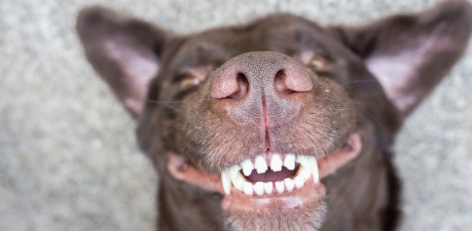 home dental care tips for dogs